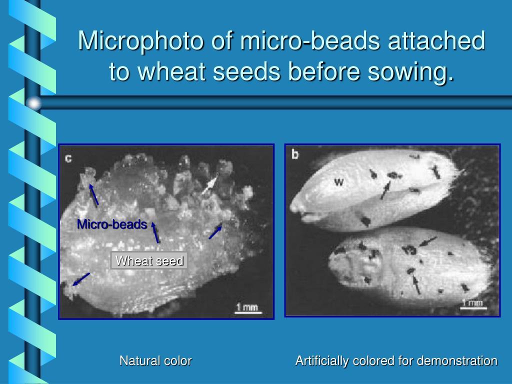 Microphoto of micro-beads attached to wheat seeds before sowing.