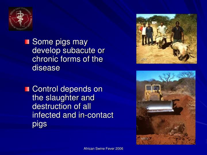 Some pigs may develop subacute or chronic forms of the disease