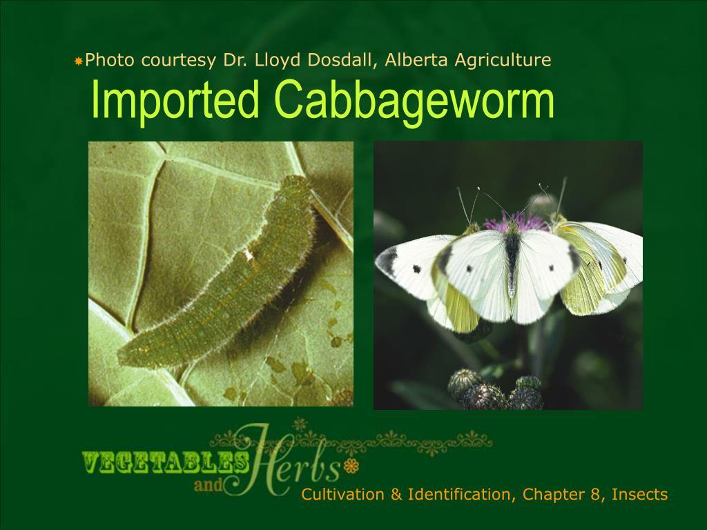 Photo courtesy Dr. Lloyd Dosdall, Alberta Agriculture