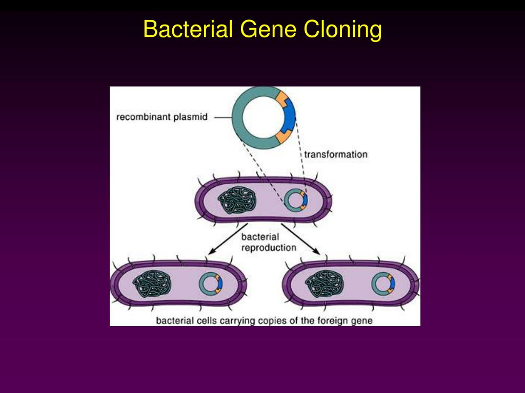 thesis on gene cloning Cloning is a controversial topic and one that is often debated in rhetoric and ethics classes whether preparing for a debate or writing a paper, a thesis, or statement of position, is essential for focus and clarification in your paper.