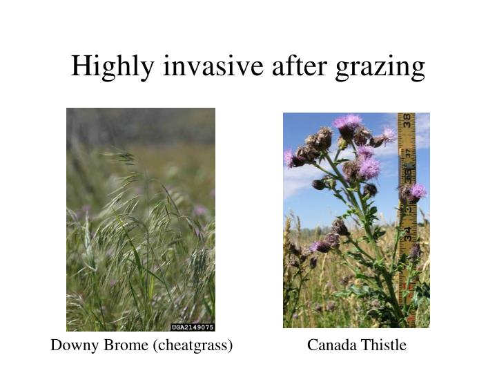 Highly invasive after grazing