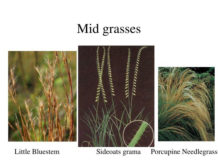 Mid grasses