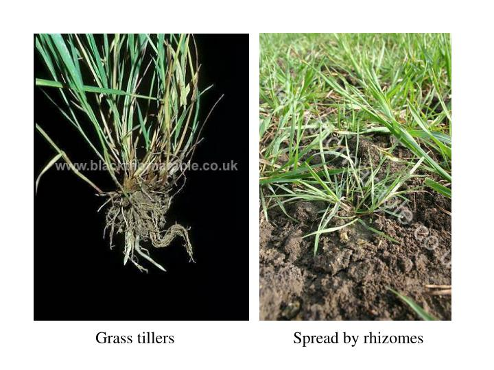 Grass tillers			Spread by rhizomes