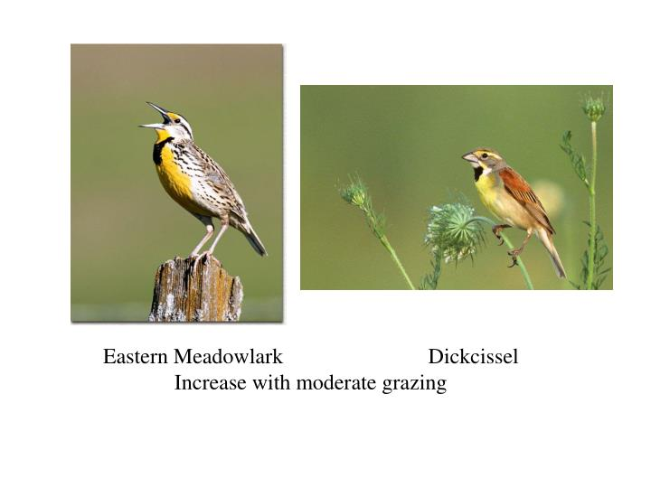 Eastern Meadowlark Dickcissel
