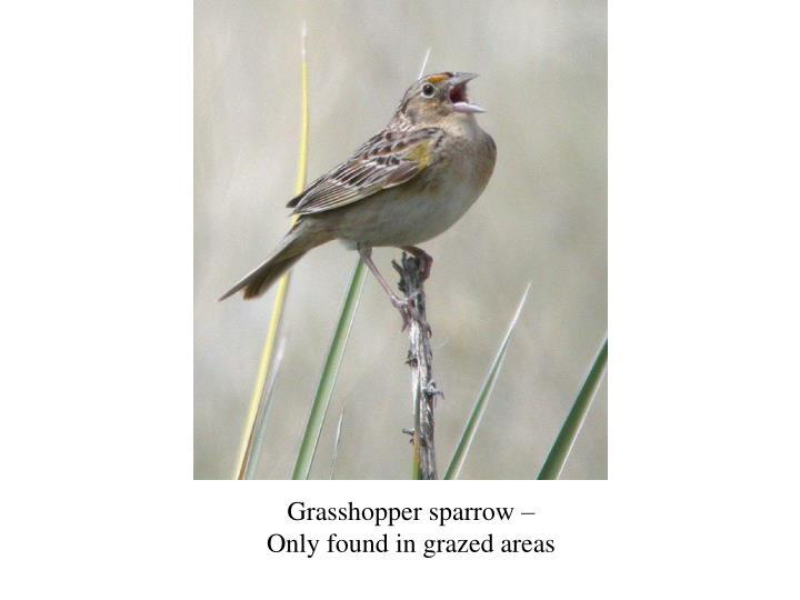 Grasshopper sparrow –
