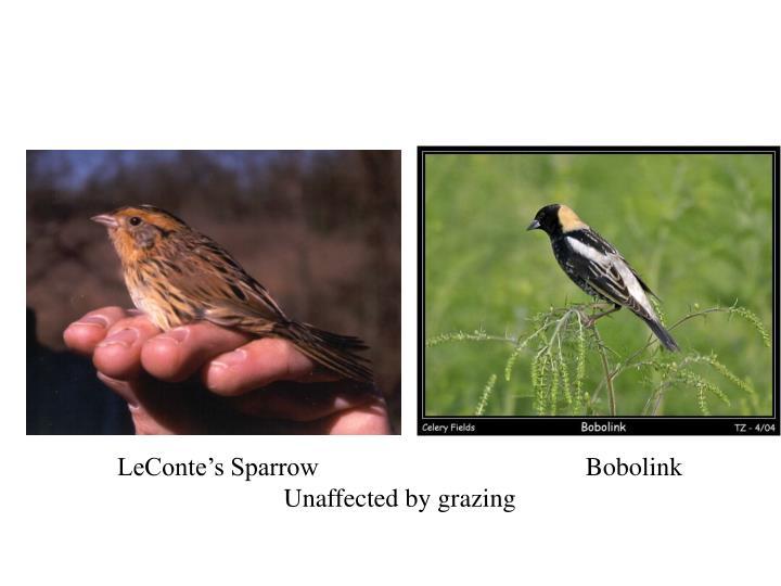 LeConte's SparrowBobolink