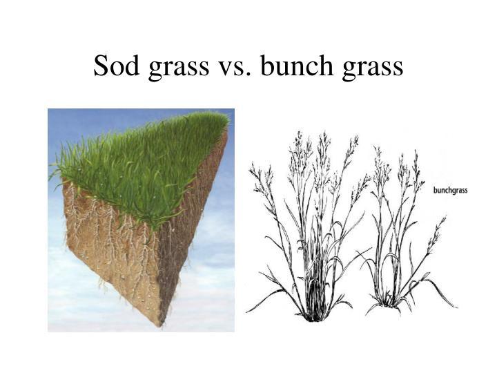Sod grass vs. bunch grass