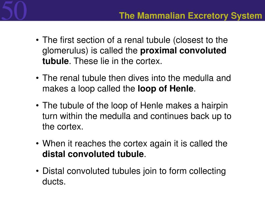 The Mammalian Excretory System