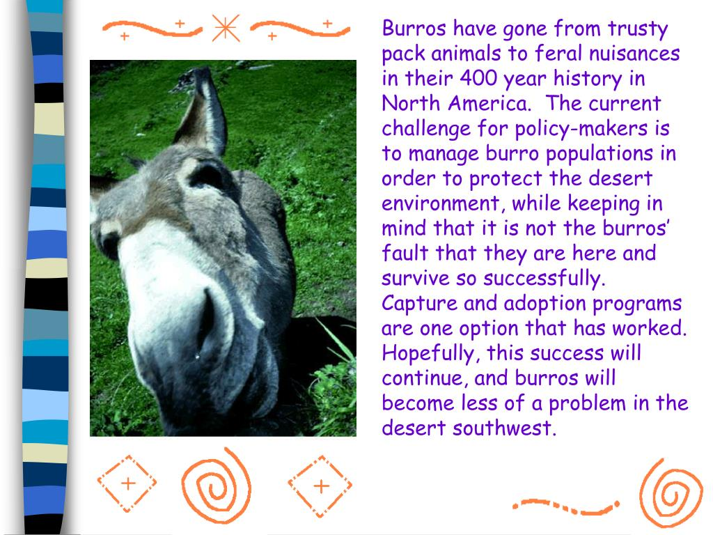 Burros have gone from trusty pack animals to feral nuisances in their 400 year history in North America.  The current challenge for policy-makers is to manage burro populations in order to protect the desert environment, while keeping in mind that it is not the burros' fault that they are here and survive so successfully.  Capture and adoption programs are one option that has worked.  Hopefully, this success will continue, and burros will become less of a problem in the desert southwest.