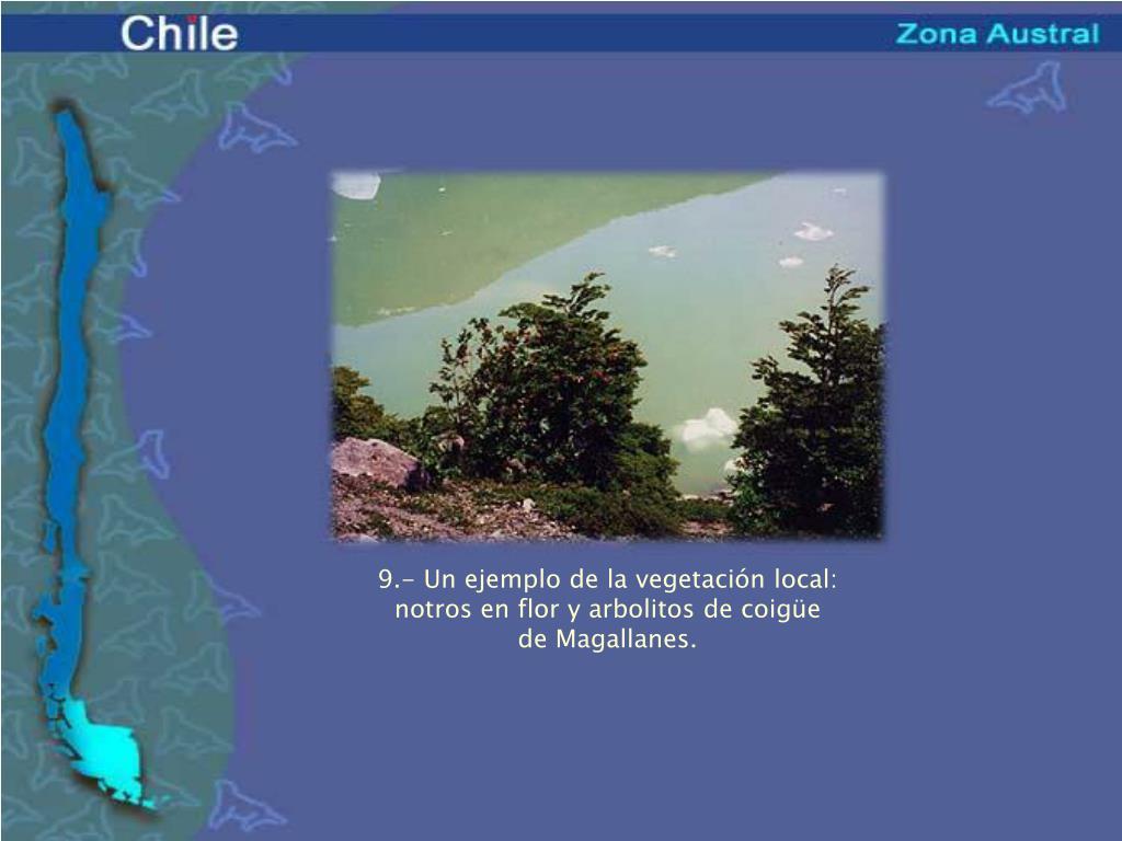 9.- Un ejemplo de la vegetación local: notros en flor y arbolitos de coigüe de Magallanes.