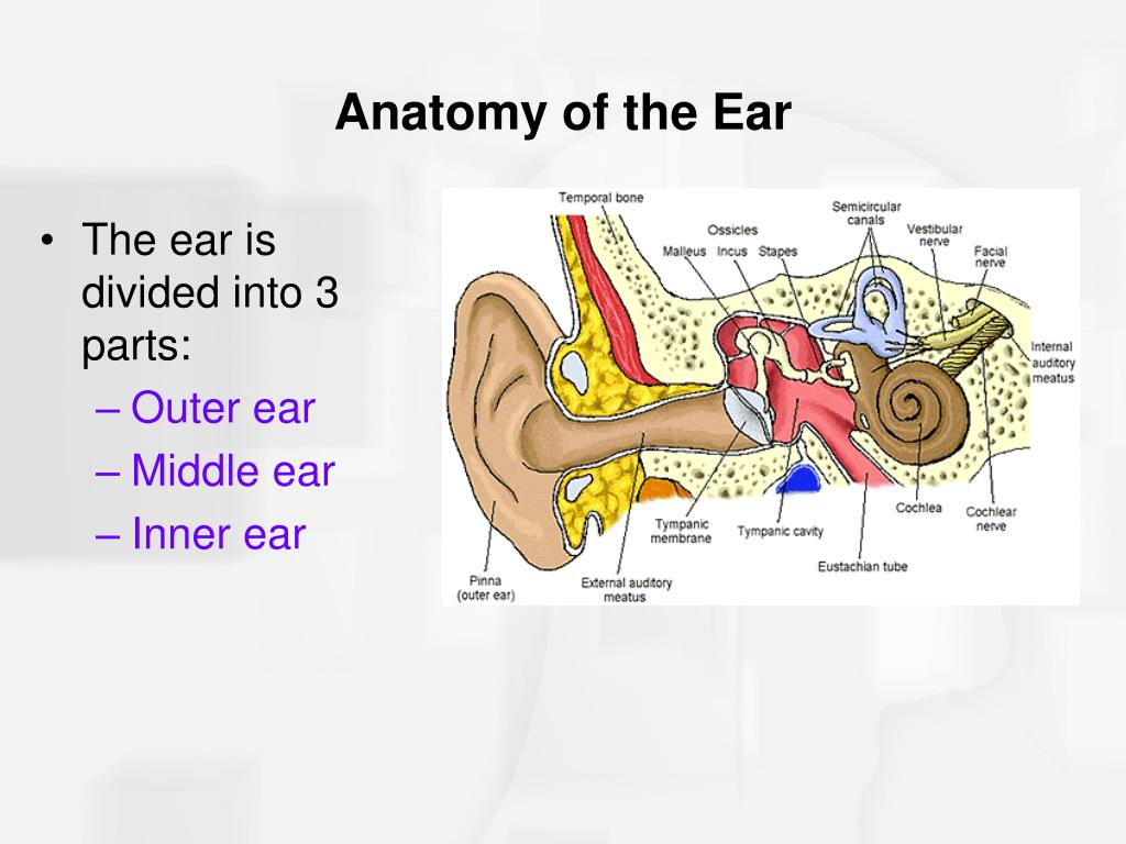 The ear is divided into 3 parts: