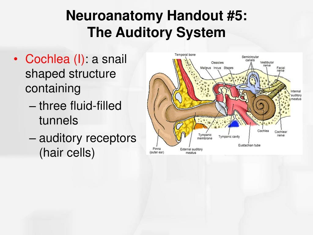 Cochlea (I)