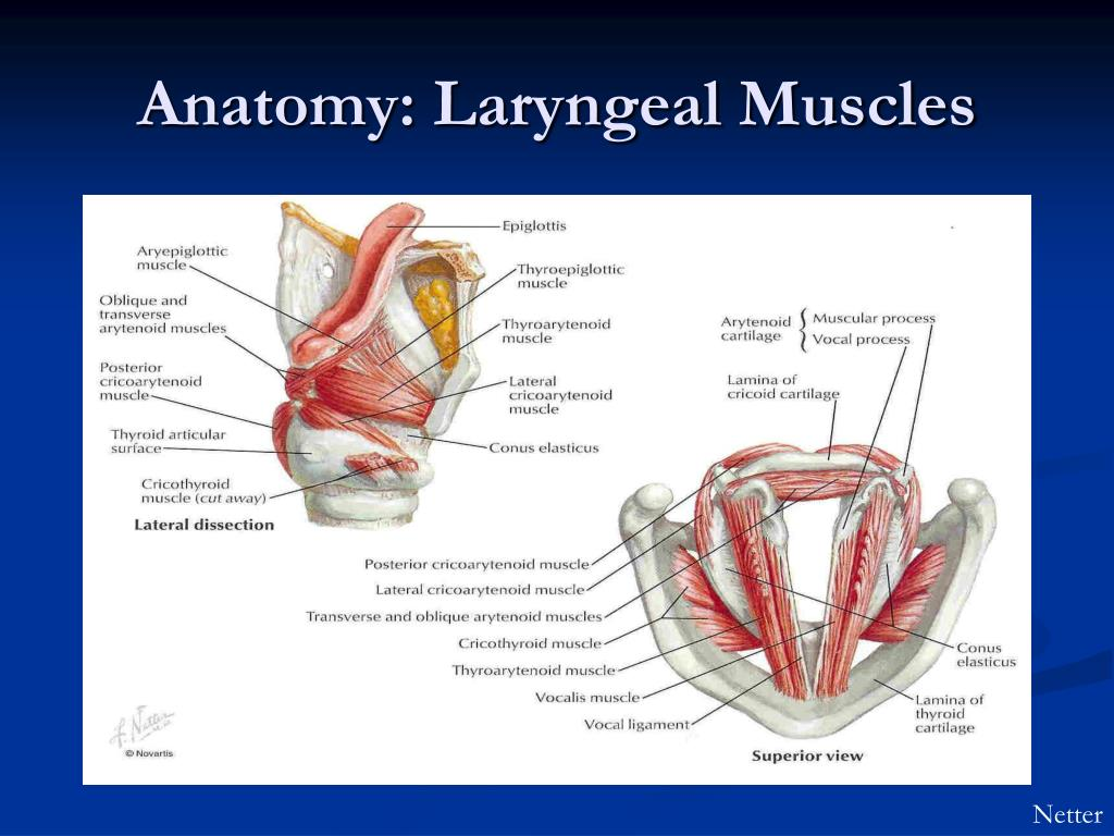 Images of Larynx Muscle Anatomy - #SpaceHero