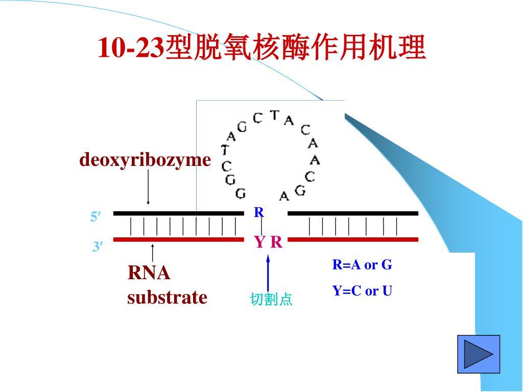 10-23型脱氧核酶作用机理