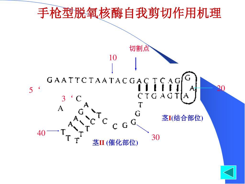 手枪型脱氧核酶自我剪切作用机理