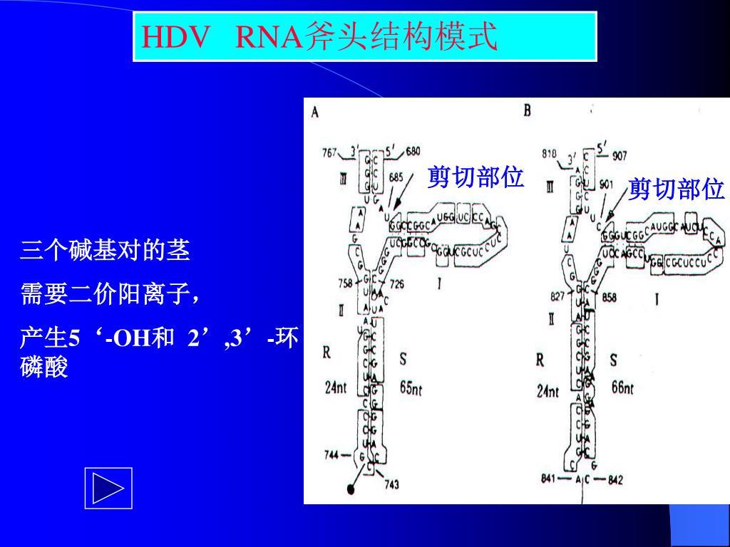 HDV   RNA