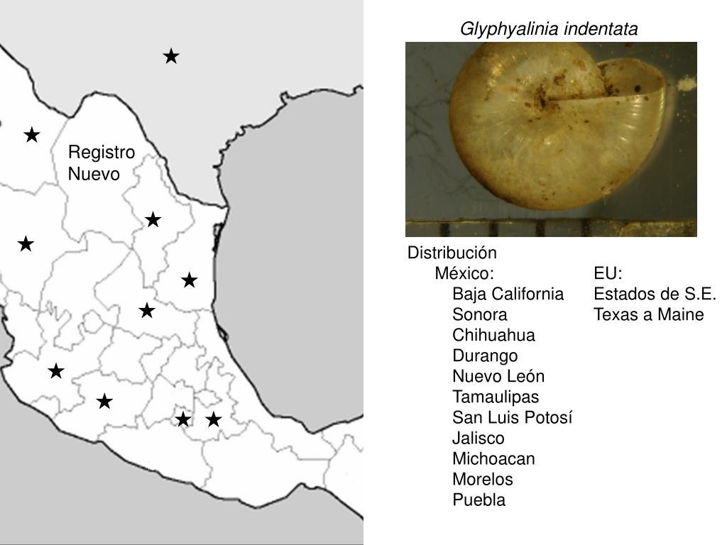 Glyphyalinia indentata