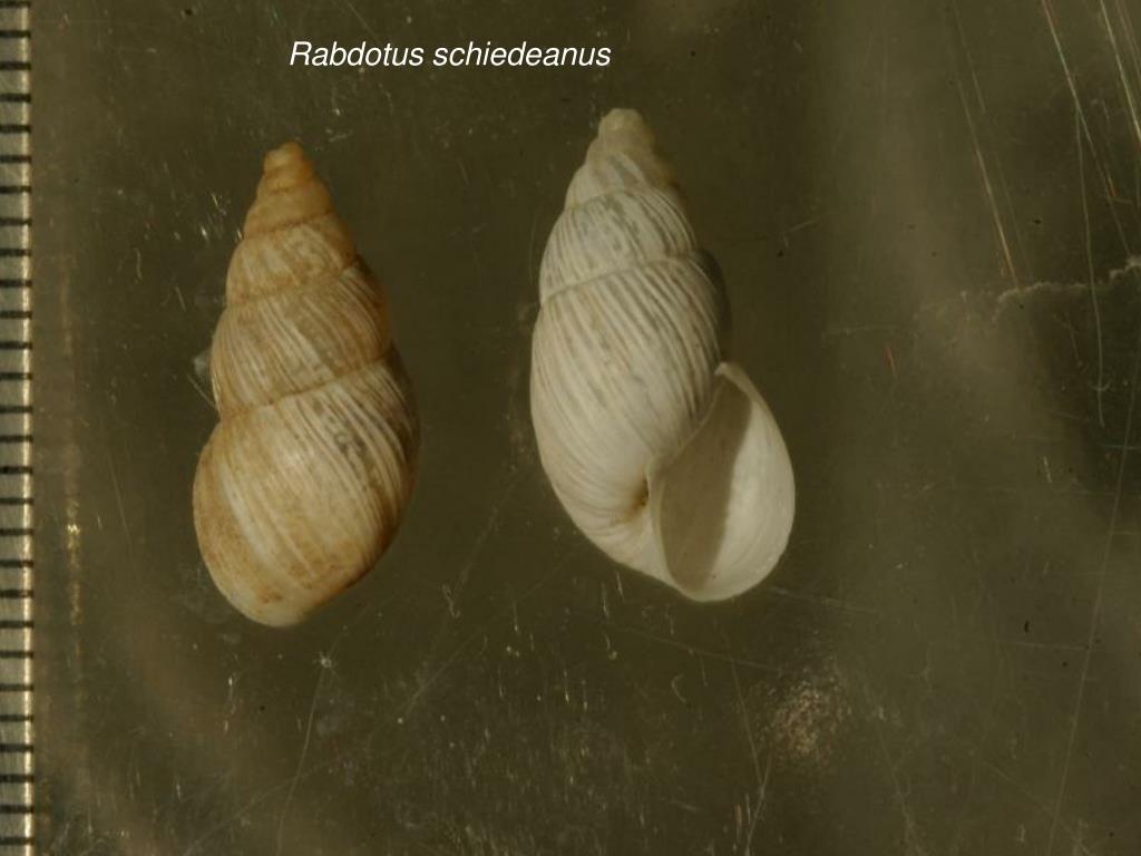 Rabdotus schiedeanus