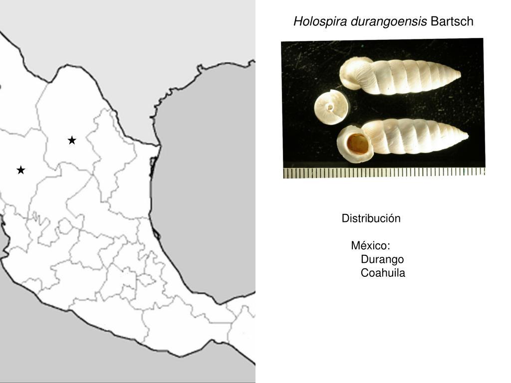 Holospira durangoensis