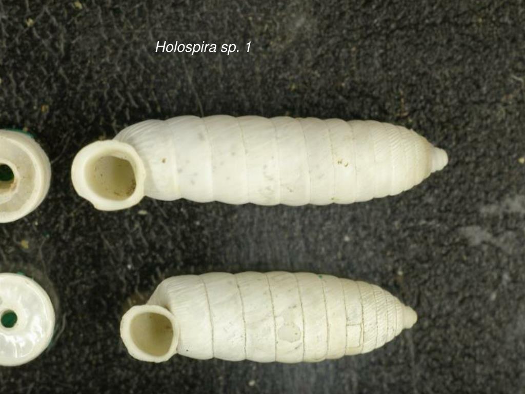 Holospira sp. 1