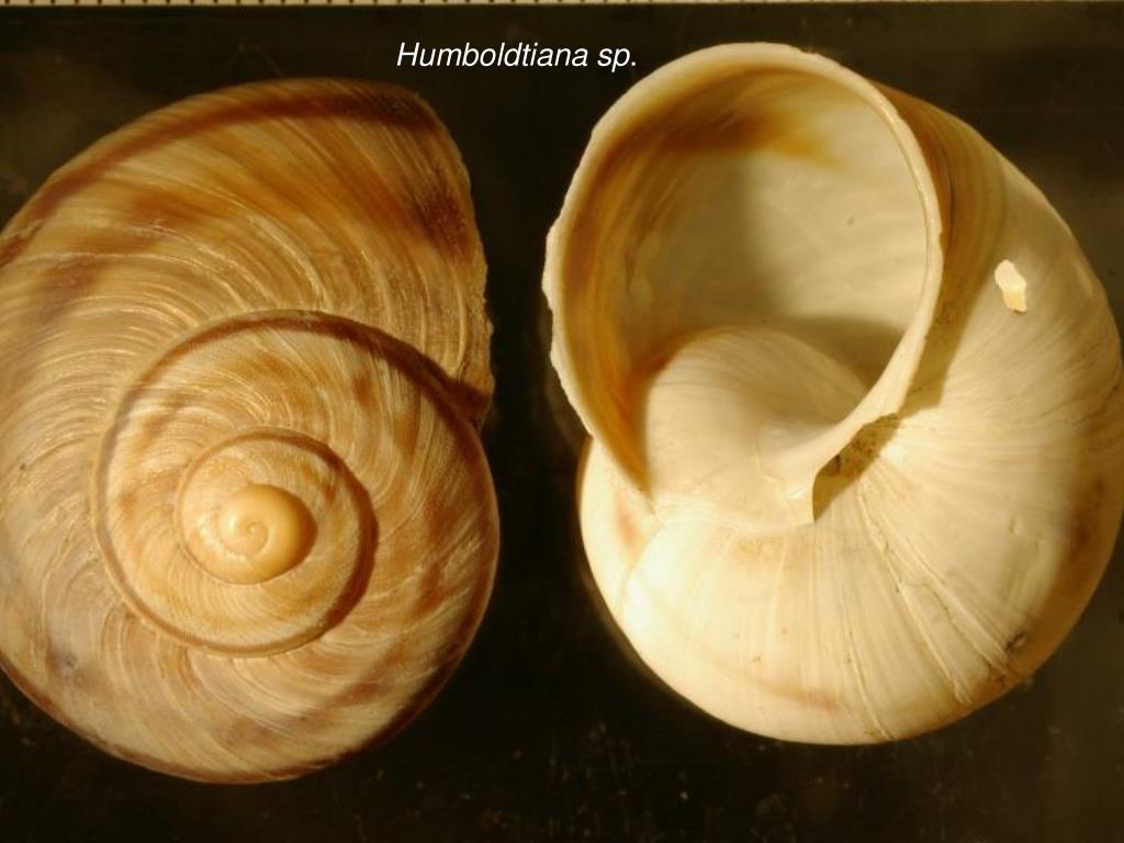 Humboldtiana sp