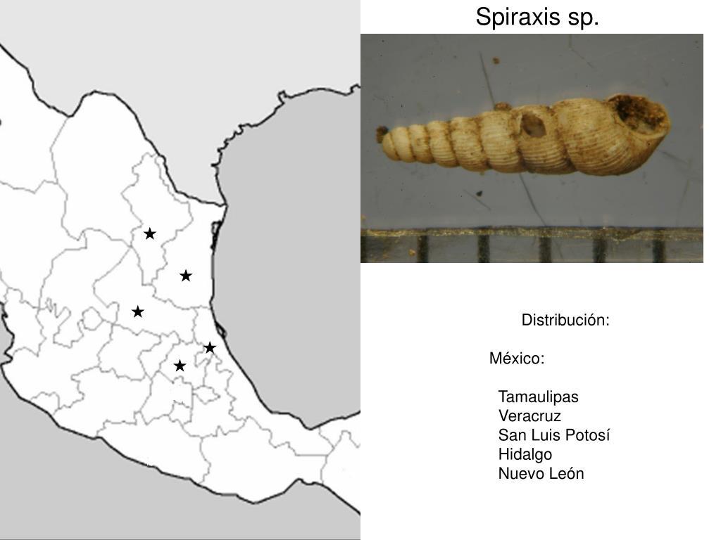 Spiraxis sp.