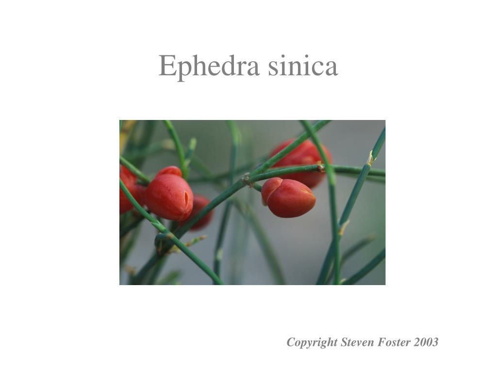 Ephedra sinica