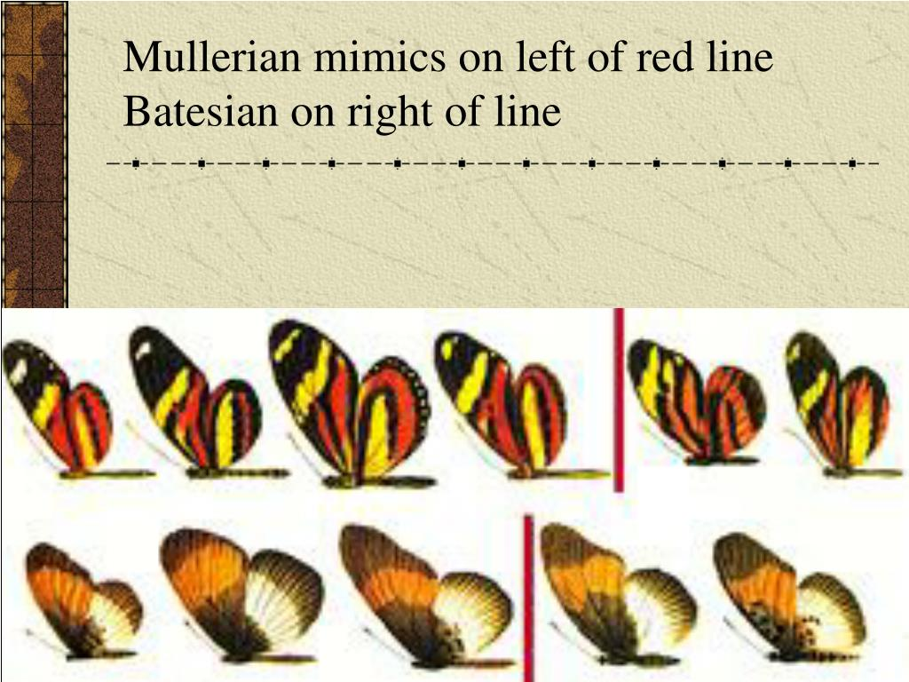 Mullerian mimics on left of red line