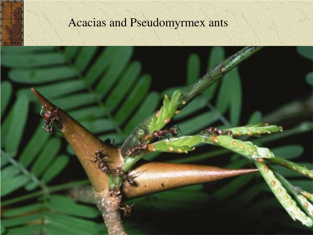 Acacias and Pseudomyrmex ants