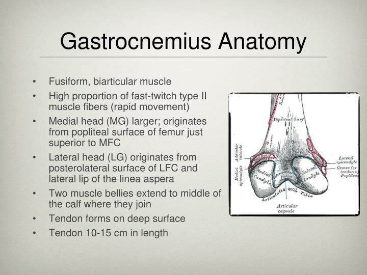 Gastrocnemius Anatomy