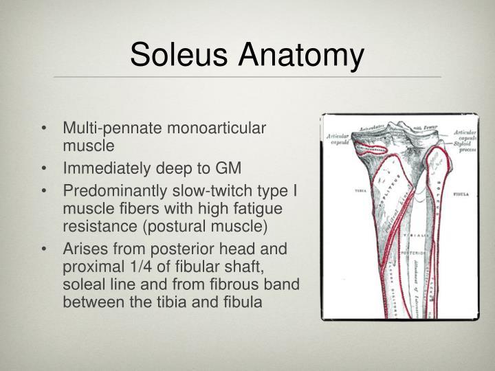 Soleus Anatomy