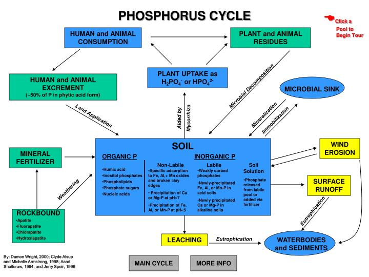 The Phosphorous Cycle  Alison
