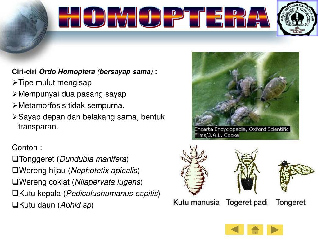 HOMOPTERA