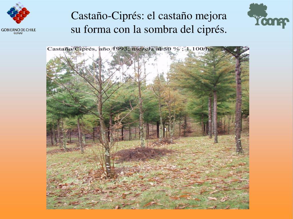 Castao-Ciprs: el castao mejora