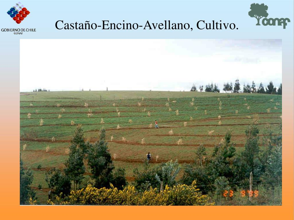 Castao-Encino-Avellano, Cultivo.