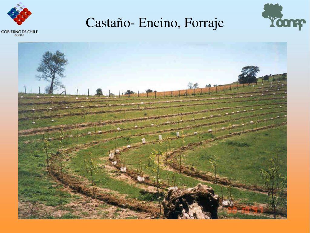 Castao- Encino, Forraje