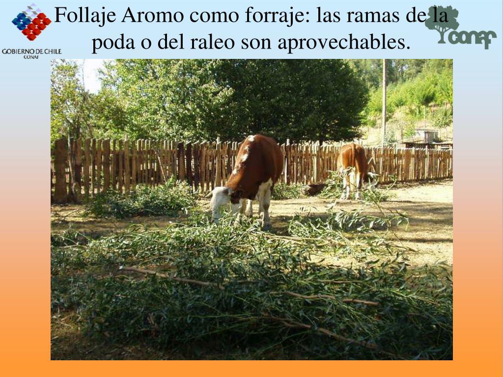 Follaje Aromo como forraje: las ramas de la poda o del raleo son aprovechables.