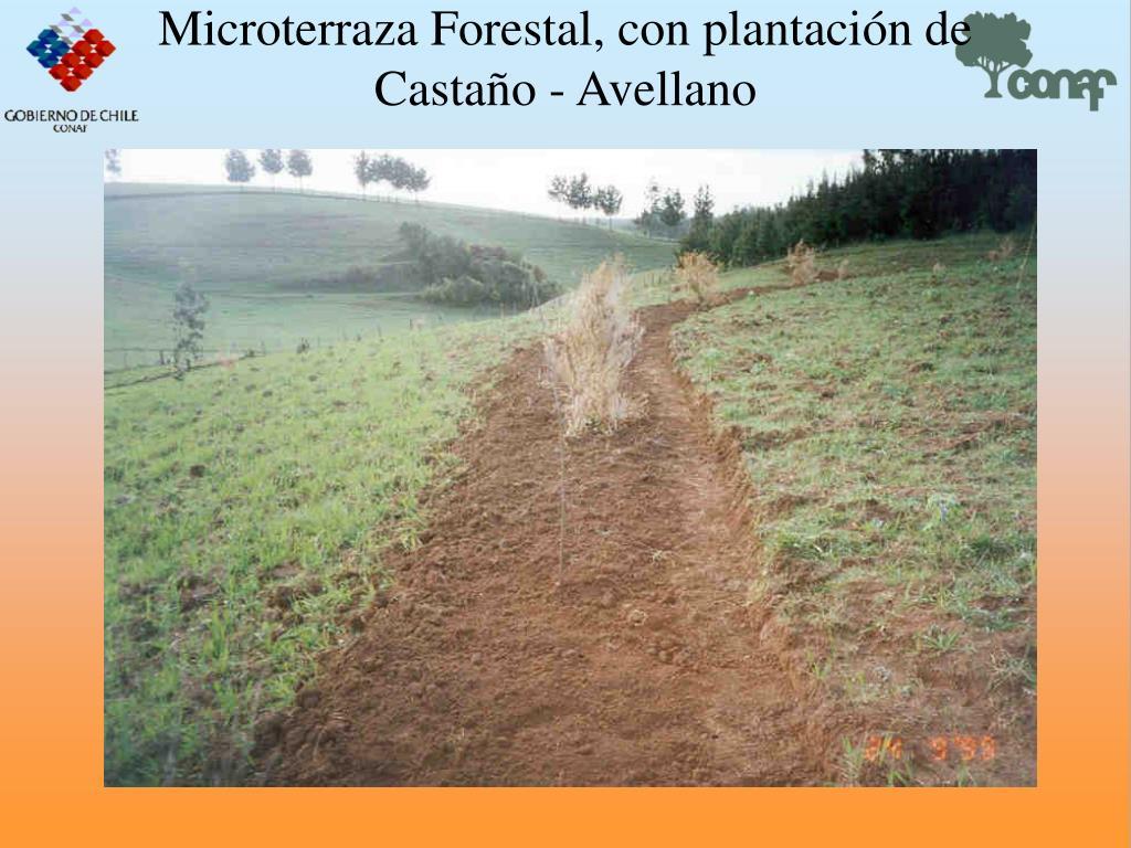 Microterraza Forestal, con plantacin de Castao - Avellano