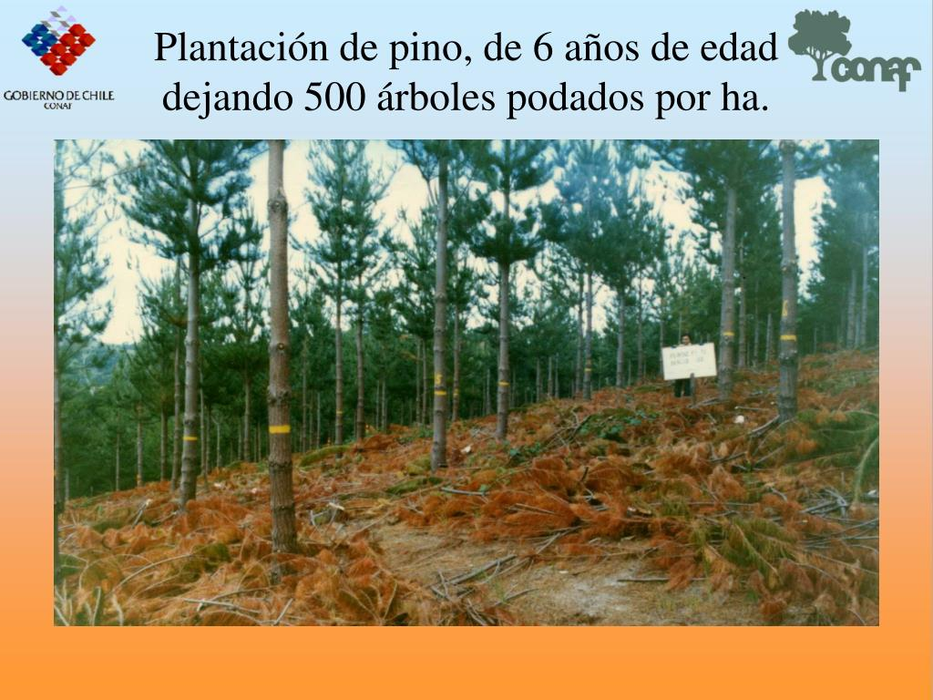 Plantacin de pino, de 6 aos de edad