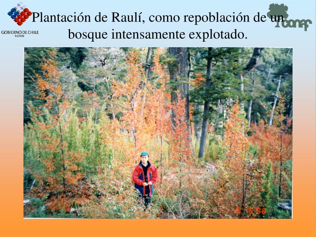 Plantacin de Raul, como repoblacin de un bosque intensamente explotado.