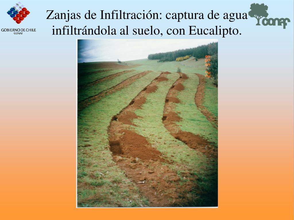 Zanjas de Infiltracin: captura de agua infiltrndola al suelo, con Eucalipto.