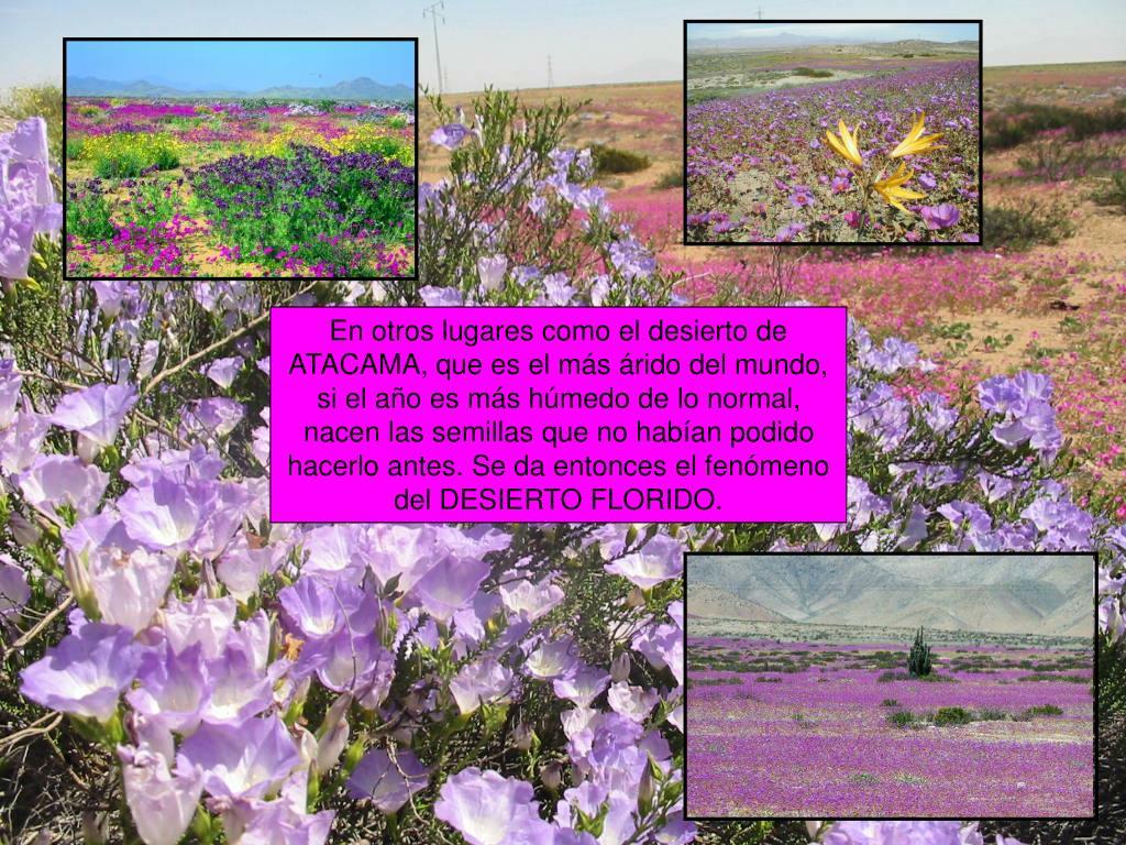 En otros lugares como el desierto de ATACAMA, que es el más árido del mundo, si el año es más húmedo de lo normal, nacen las semillas que no habían podido hacerlo antes. Se da entonces el fenómeno del DESIERTO FLORIDO.