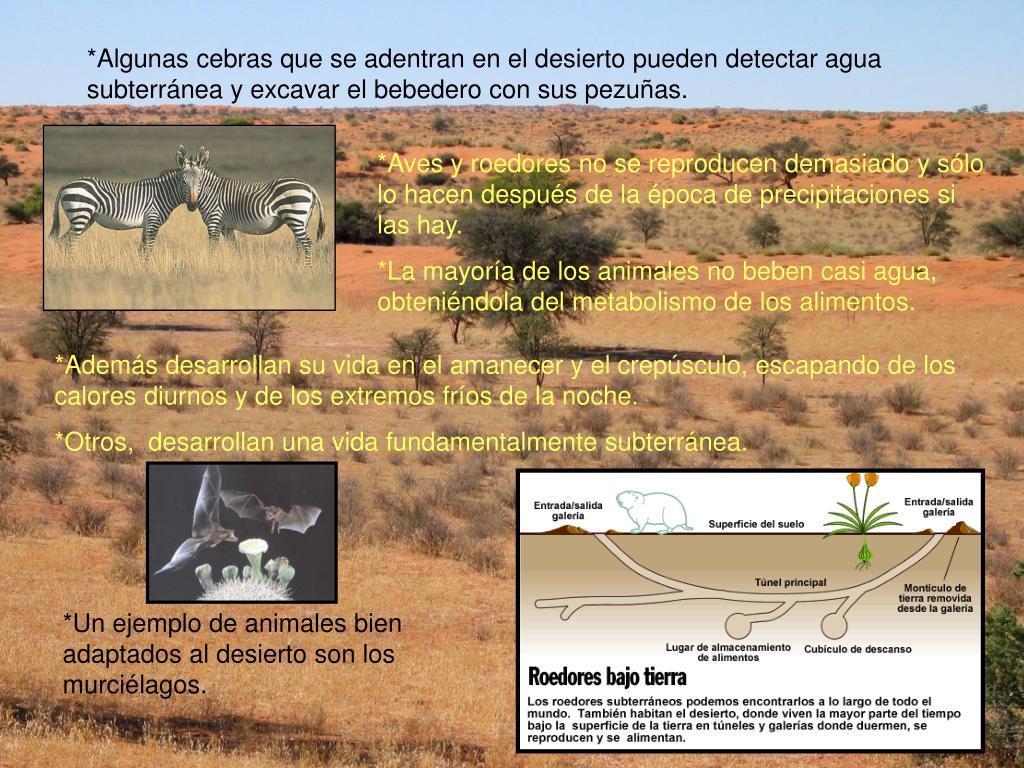 *Algunas cebras que se adentran en el desierto pueden detectar agua subterránea y excavar el bebedero con sus pezuñas.