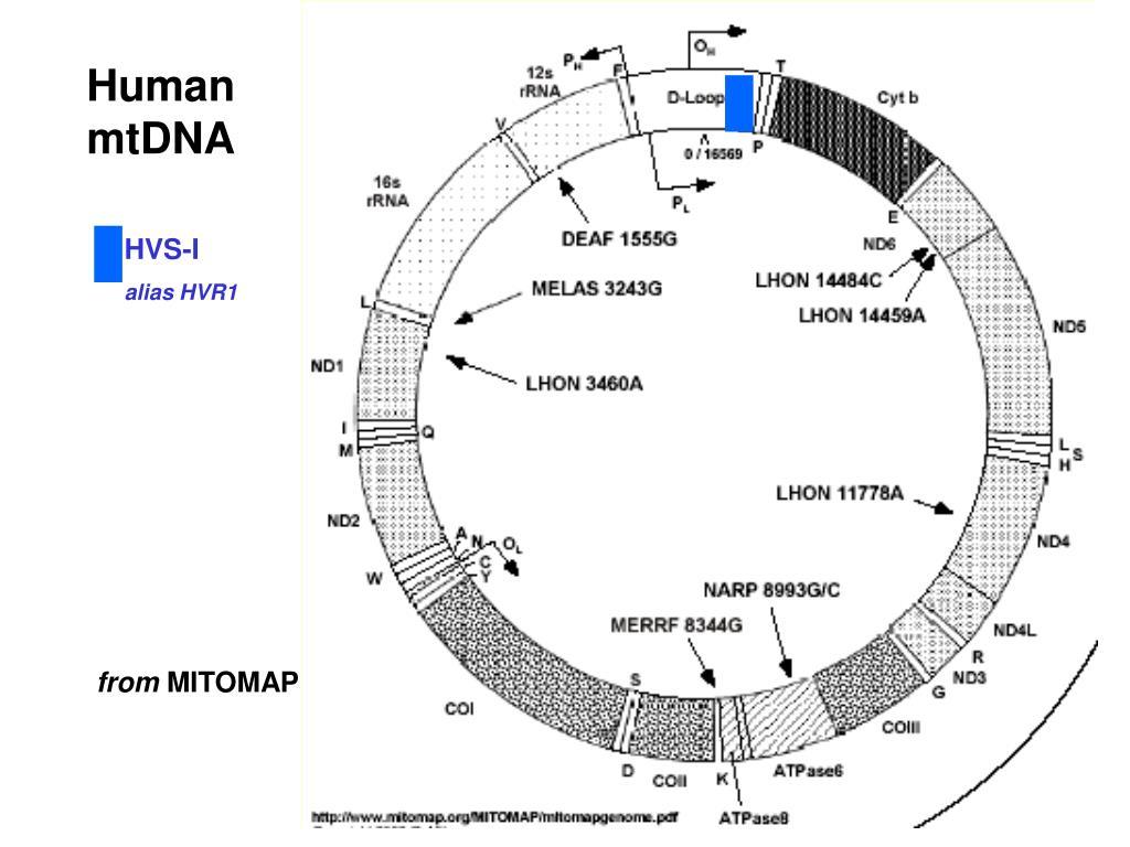 Human mtDNA