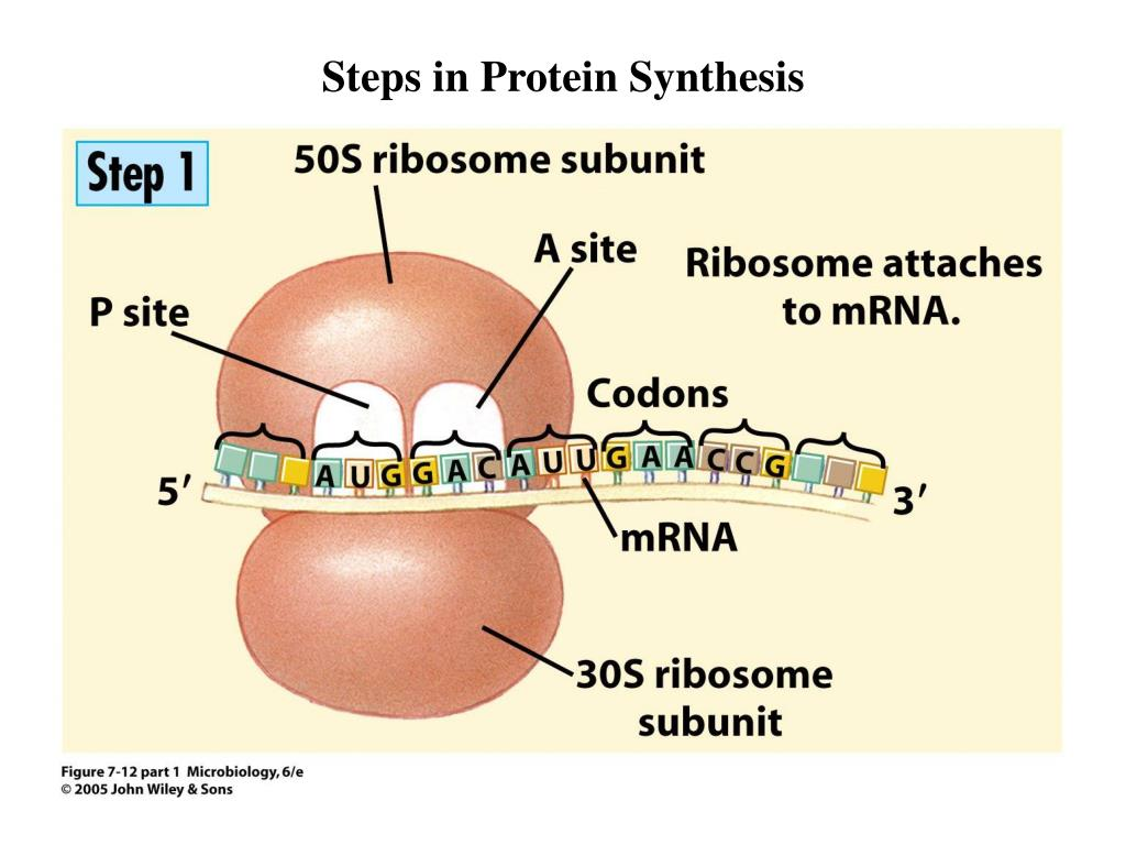 two steps of protein synthesis In two stages, in which the 50s  required for all the steps of protein synthesis  cles that contain more rna than protein and dissociate into.