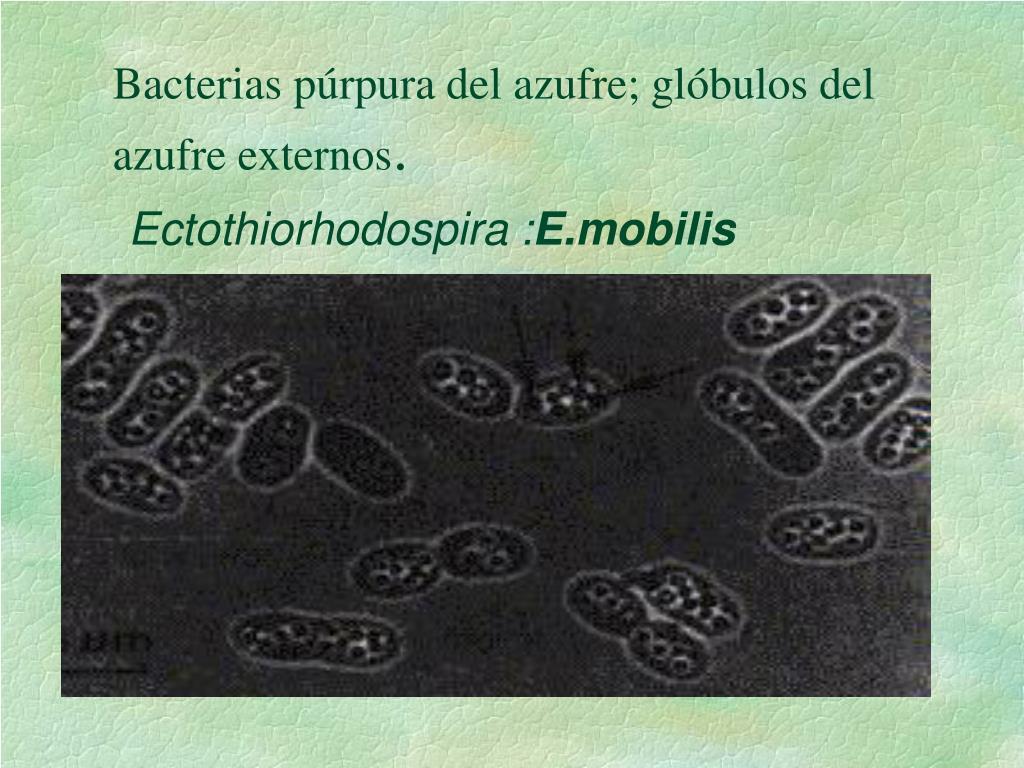 Bacterias púrpura del azufre; glóbulos del      azufre externos