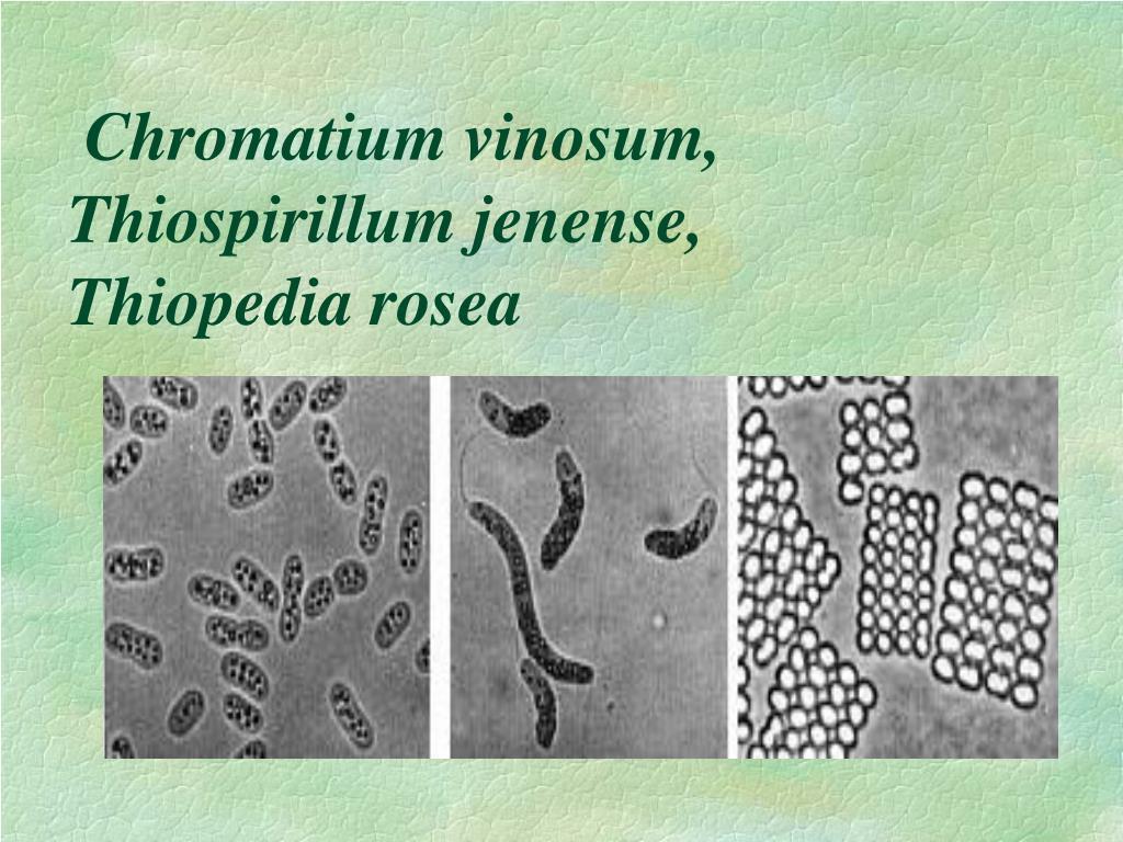 Chromatium vinosum, Thiospirillum jenense,
