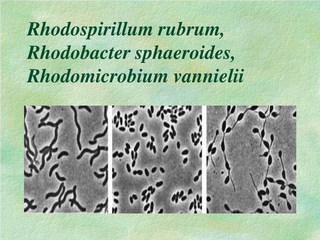 Rhodospirillum rubrum, Rhodobacter sphaeroides, Rhodomicrobium vannielii