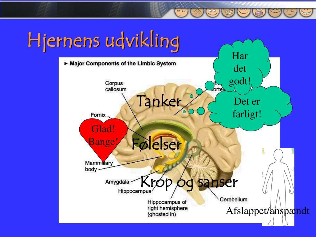 Hjernens udvikling