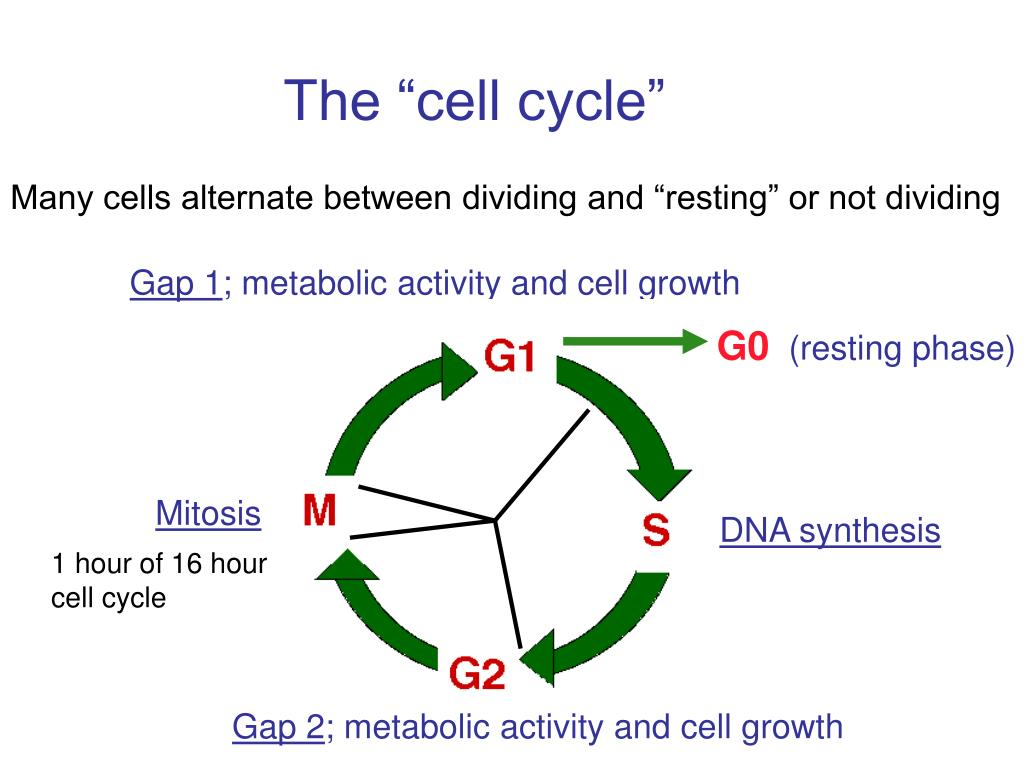 "The ""cell cycle"""